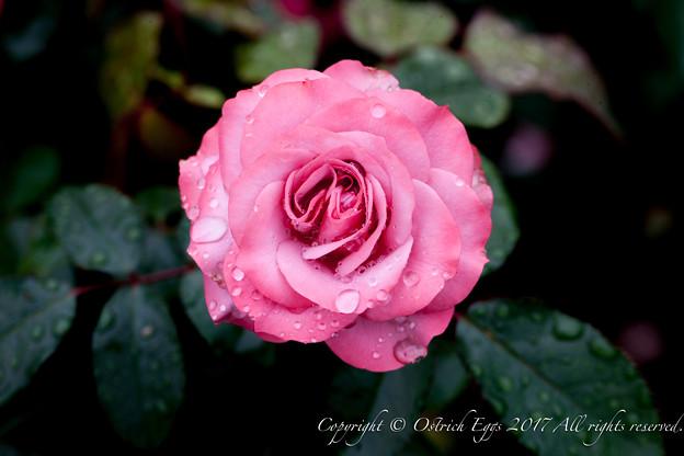 Photos: Rose-3601