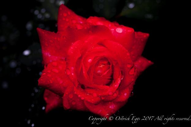 Photos: Rose-3606