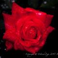Rose-3606