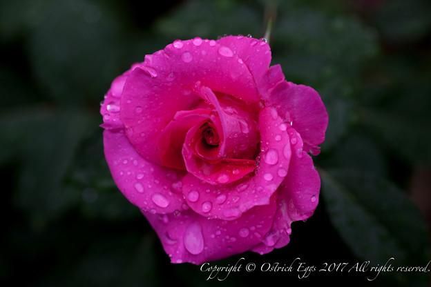 Photos: Rose-3609