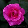 Rose-3609