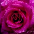 Photos: Rose-3611