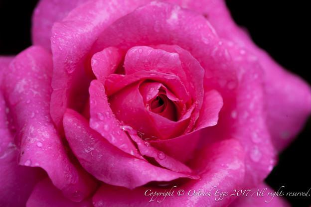 Photos: Rose-3616