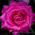 Photos: Rose-3617