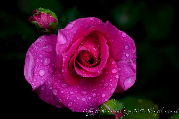 Photos: Rose-3618