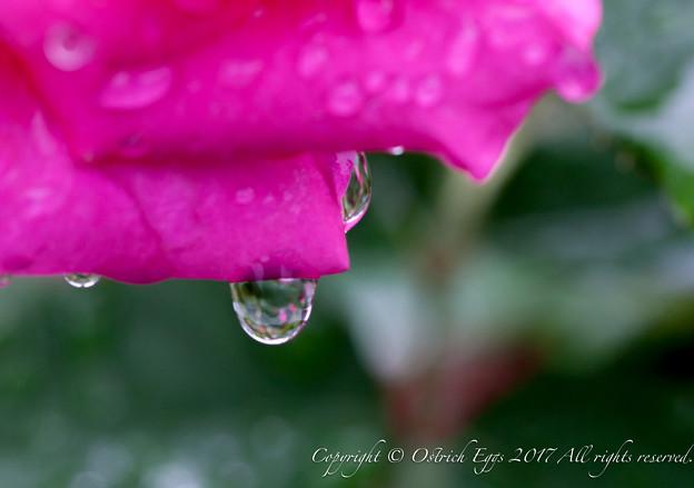Photos: Rose-3620