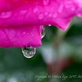 Rose-3620