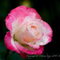 Rose-3626