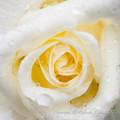 Photos: Rose-3631