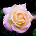 Photos: Rose-3638