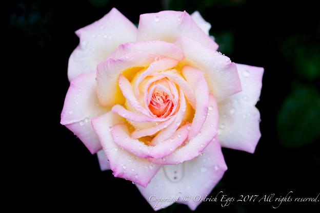 Photos: Rose-3640