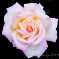 Rose-3640