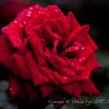 Rose-3645