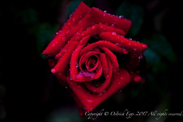 Photos: Rose-3651