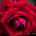 Rose-3652