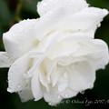 Photos: Rose-3668