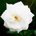 Photos: Rose-3669
