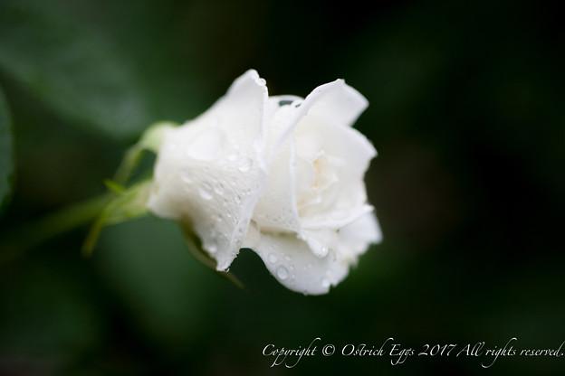 Photos: Rose-3672
