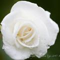 Photos: Rose-3673