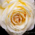 Photos: Rose-3675