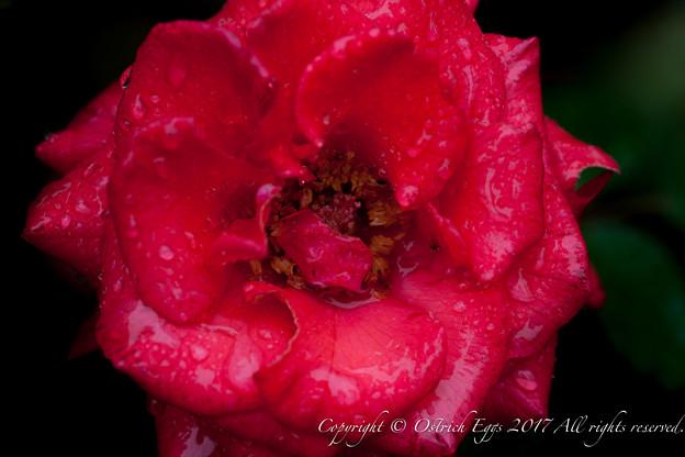 Photos: Rose-3677