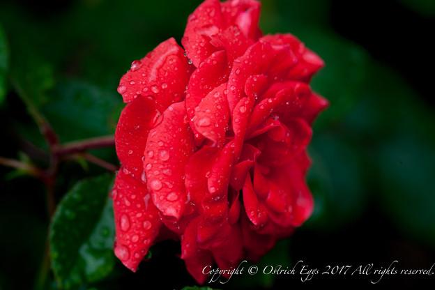 Photos: Rose-3678