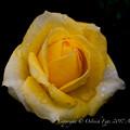 Photos: Rose-3685