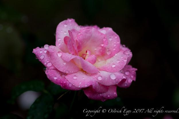 Photos: Rose-3688