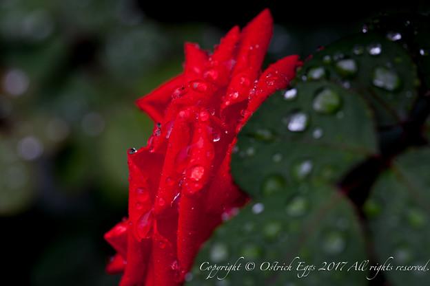 Photos: Rose-3704