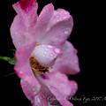 Photos: Rose-3707