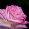 Photos: Rose-3722