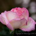 Photos: Rose-3724