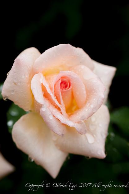 Rose-3728