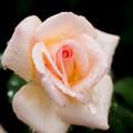 Photos: Rose-3728