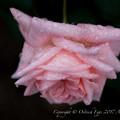 Photos: Rose-3730