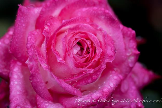 Photos: Rose-3733