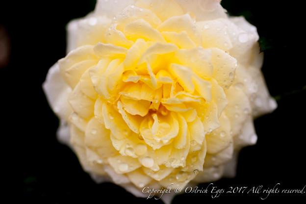 Photos: Rose-3749