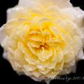 Rose-3749