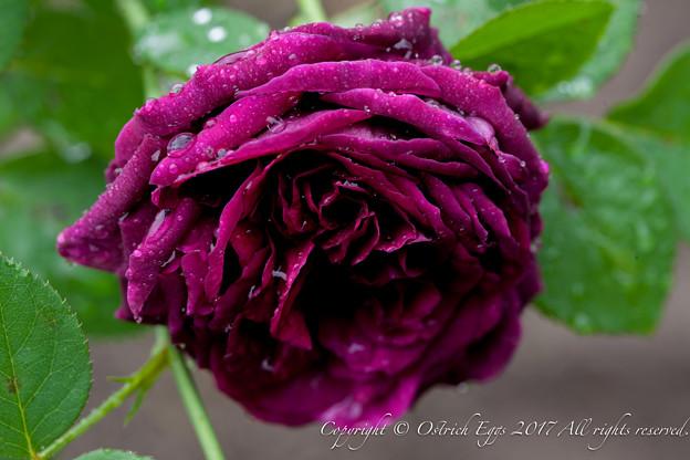 Photos: Rose-3762