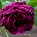 Rose-3762