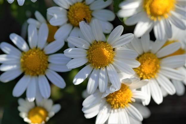 県花「のじぎく」