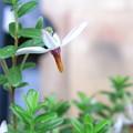 【園芸】クランベリーの花 2017年[初夏]