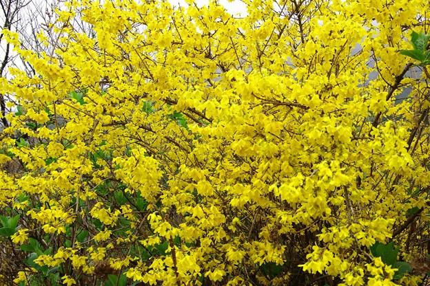 幸福の黄色?