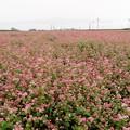 写真: 赤い蕎麦畑