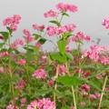 写真: 赤い蕎麦の花