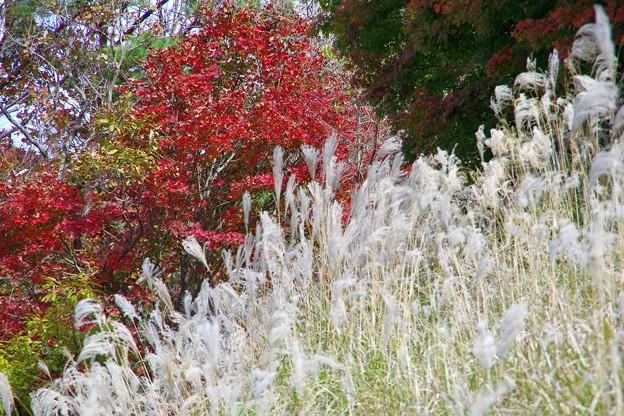 写真: ススキと紅葉