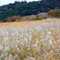 写真: ススキと草黄葉