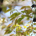 写真: 170414-3お花見をしているオオルリ♂