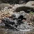 写真: 170414-12カラスの水浴び