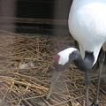 170414-15タンチョウ(動物園)が卵を産みました
